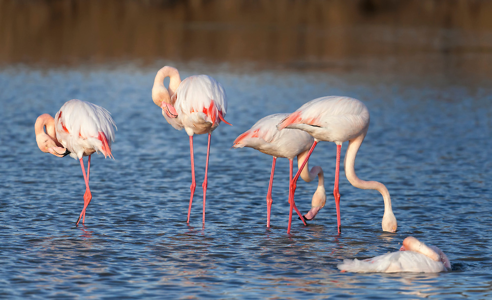 Flamingos group washing