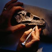 Eoraptor Skull being prepared at the Field Museum in Chicago.