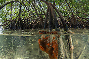 Orange Sieve Encrusting Sponge (Diplastrella sp.) on Red Mangrove (Rhizophora mangle) & fish fry<br /> Lighthouse Reef Atoll<br /> BELIZE, Central America