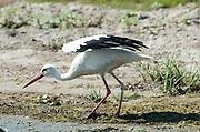 White Stork, Ciconia ciconia, Danube Delta, Romania