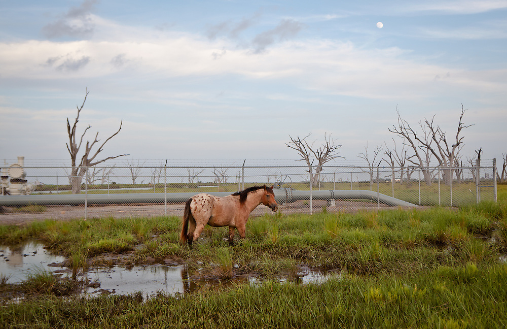Horse in the marsh in Pointe-aux-Chien Louisiana next to an oil and gas substation.