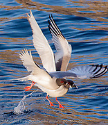 The rarest gull in the world, the Lava Gull, Leucophaeus fuliginosus, is found only in the Galapagos Islands. Widely distrubuted in the archipelago, there are only 400 pairs remaining.