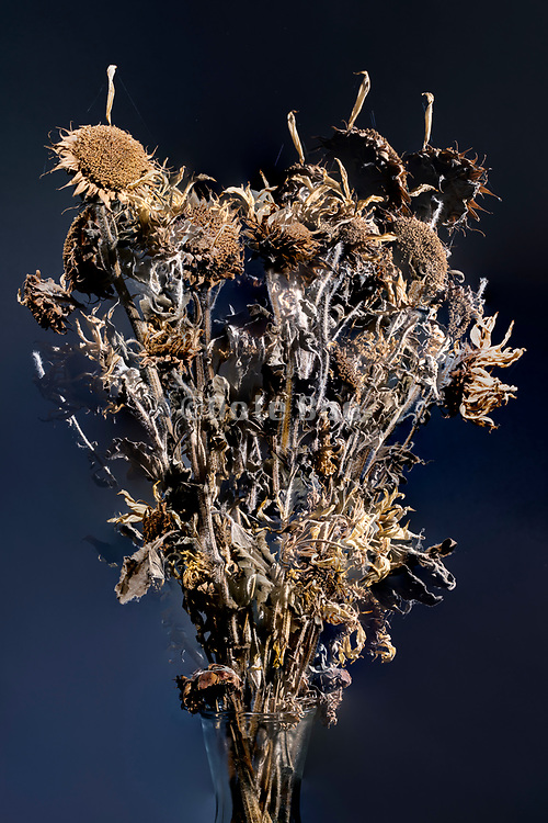 dried brown colored sunflowers studio still life composite