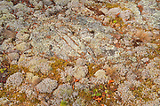 Crustose and fruiticose lichens on rock<br />Kenora<br />Ontario<br />Canada