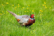 Cock pheasant, Phasianus colchicus,  in a field of buttercups, UK