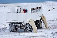 01874-11115  Polar bears (Ursus maritimus) near Tundra Buggy, Churchill, MB