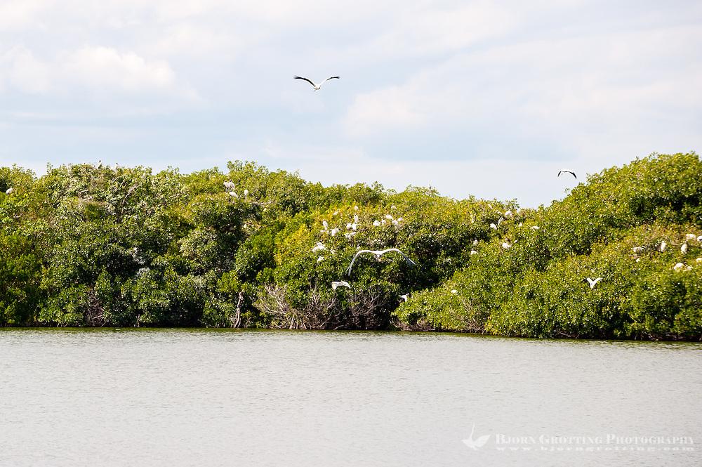 US, Florida, Everglades. Pouratis Pond. Wood Storks.