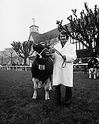A prizewinner in the Friesan Bull category at the RDS Bull Show.<br /> 01/03/1977