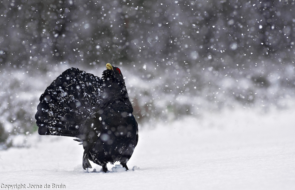 A Capercaillie is defending his territory during heavy snowfall in the forest in the Cairngorms National Park in Scotland