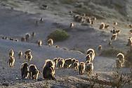 Ein grosse Dschelada-Gruppe (Theropithecus gelada) am Abend auf dem Weg zu den Felswänden, wo sie die Nacht verbringen, Simien Nationalpark, Debark, Region Amhara, Äthiopien<br /> <br /> A large Gelada group (Theropithecus gelada) in the evening on the way to the rock walls where they spend the night, Simien National Park, Debark, Amhara Region, Ethiopia