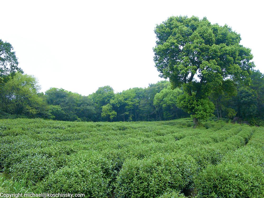 Green Tea Plantation for LongJing Tea, Hangzhou