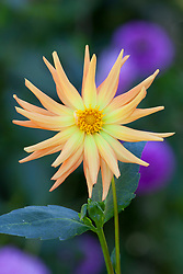 Dahlia at Rousham House - name unknown