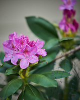 Rhododendron Flowers. Image taken with a Nikon D850 camera and 105 mm f/1.4  lens (ISO 140, 105 mm, f/1.4, 1/250 sec).