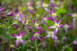 Clematis × triternata 'Rubromarginata'