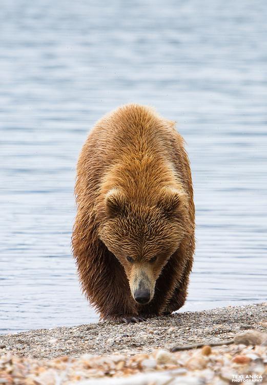 A brown bear walks the beaches of Naknek Lake in Katmai National Park.