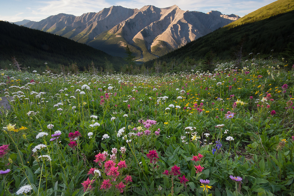 Wildflower Riot, Burns Mountain, Kananaskis