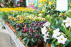 Flower and chilli plants in garden centre, Augsburg, Bavaria, Germany
