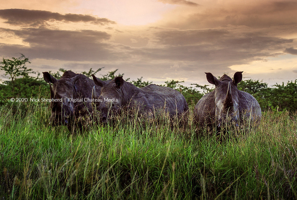 Black Rhino, Huhluwe Umfolozi Game Reserve, Kwa Zulu Natal, South Africa