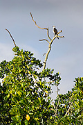 Female Osprey on bare branch of tree, the Daintree River, Queensland, Australia