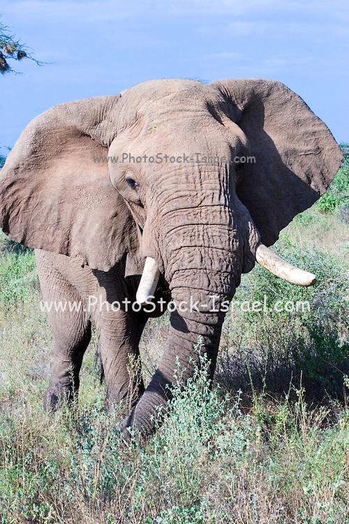 Kenya, Samburu National Reserve, Kenya, African Elephant, February