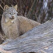 Canada Lynx, (Lynx canadensis) Portrait of adult. Rocky mountains. Montana. Winter. Captive Animal.