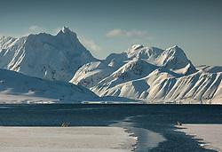 Polar bear (Ursus maritimus) meeting on the edge in March, Hornsund, Spitsbergen, Svalbard, Norway