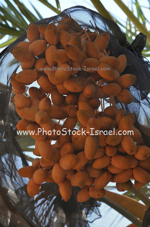 Desert agriculture. Ripe dates on the tree wrapped in a net. The net protects the fruit from birds and prevents the ripe fruit from falling to the ground. photographed in Israel, Aravah, Paran,