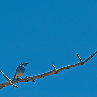 A Mountain Bluebird (Sialia currocoides) perches on a tree branch in Wyoming's Yellowstone National Park.