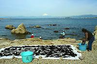Harvesting kelp and seaweed at Shonan Beach at Morito Beach in Hayama, near Kamakura.