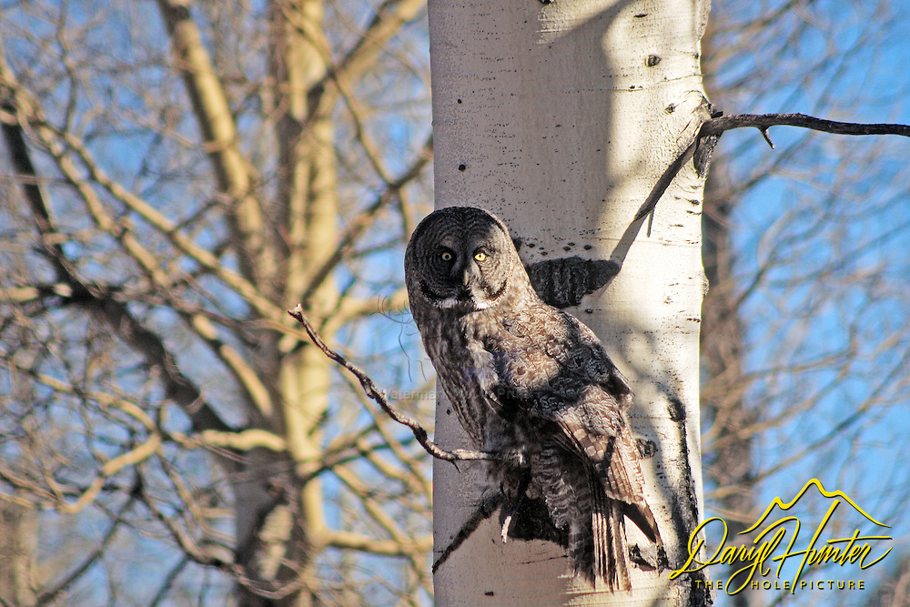 Great Grey Owl perched in Aspen Tree in Gand Teton National Park