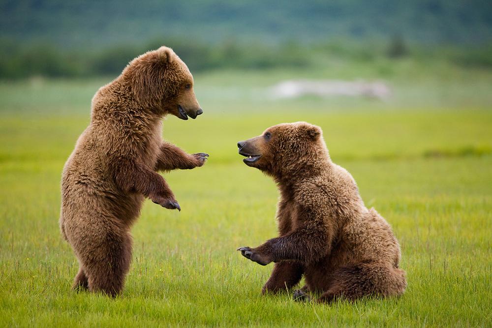 USA, Alaska, Katmai National Park, Brown Bears (Ursus arctos) sparring in meadow along Hallo Bay