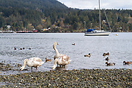 A group of Mute Swans (Cygnus olor) and assorted duck species feeding at the shoreline of Fulford Harbour on Salt Spring Island, British Columbia, Canada.