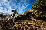 Vindimas Fajã de Barro, Porto Moniz. Foto Gregório Cunha