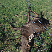 A young two-year-old moose (Alces alces) caught in a barbwire fence, struggling to the point of vomiting rumen and finally dying. Montana