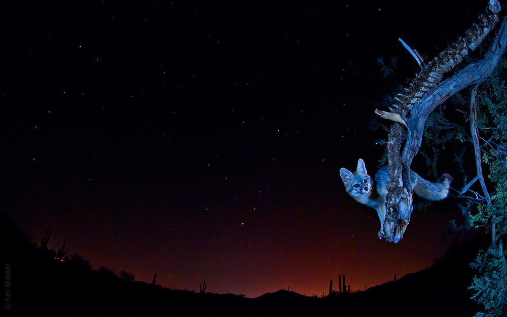 Great Bear (Ursus Major, left) and Grey Fox (Urocyon cinereoargenteus, right) share the Sonoran Desert sky