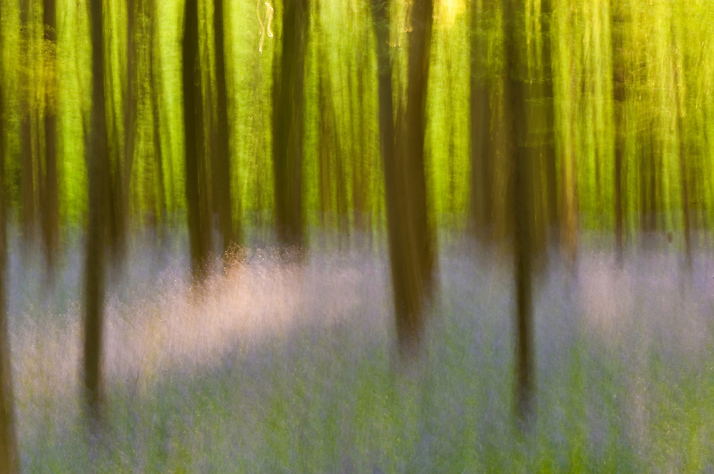 Hallerbos forest in spring with bluebells Hyacinthoides non-scripta in the foreground, Belgium
