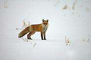 Red Fox in snow, Vulpes vulpes schrencki, Hokkaido, alert, looking, bushy tail, fur