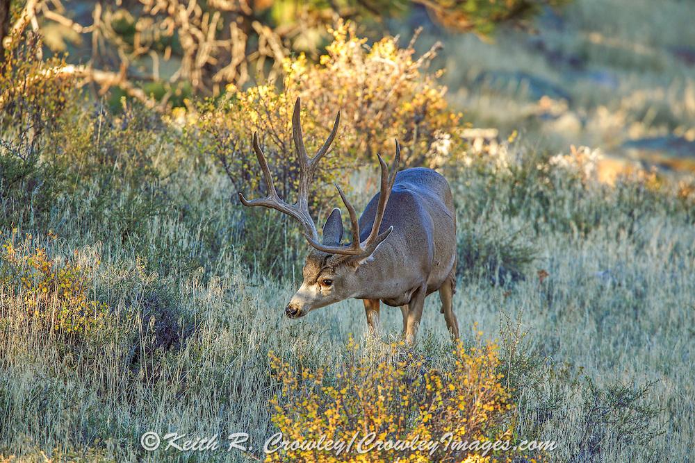 Trophy Mule deer buck in habitat