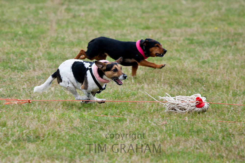 Terriers taking part in terrier racing at Moreton Show, agricultural event in Moreton-in-the-Marsh, The Cotswolds, Gloucestershire, UK