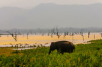 Elephants, Udawalawe National Park, Sri Lanka. Udawalawe is an important habitat for water birds and Sri Lankan elephants.