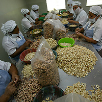 Workers at the APRAINORES processing plant in San Carlos Lempa, inside the clean room where the final product is sorted, cleaned, checked and bagged. APRAINORES is a primary producer association of over 60 families located near San Carlos Lempa, at the mouth of the Lempa River in El Salvador. Members are excombatents of the FMLN and subsistence farmers whose main cash income is from small cashew plantations. Together they own a processing plant employing around 60 workers for several months a year. All the cashew production is certified Fairtrade.