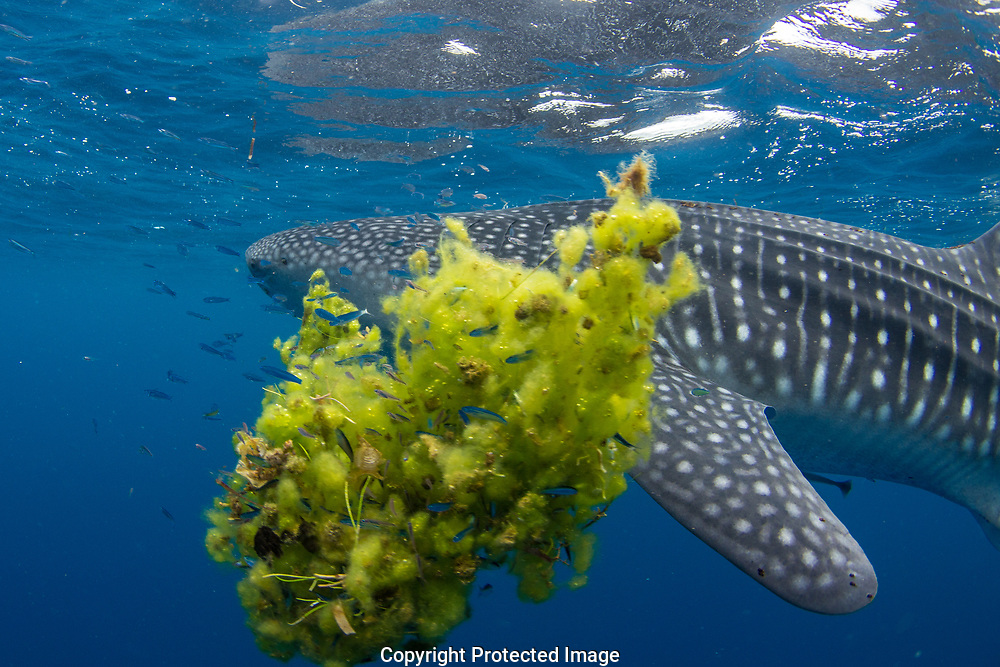 Whale shark (Rhincodon typus) swimming past a clump of seaweed, Honda Bay, Palawan, the Philippines.