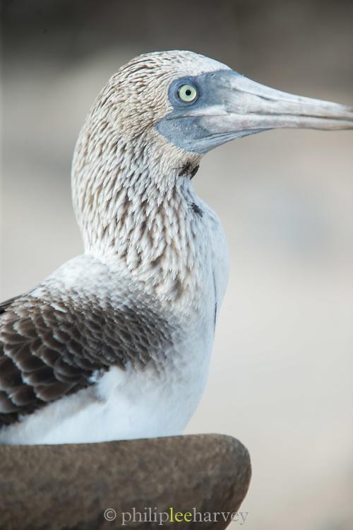 Detail, Female frigate bird, North Seymore Island, Galapagos, Ecuador, South America