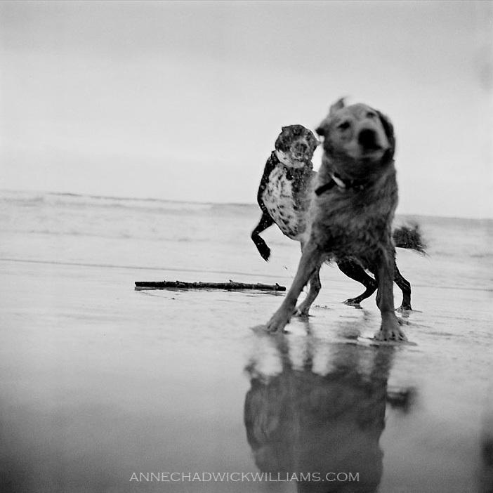 Tule and a golden retriever play on the beach on the Northern California coast.