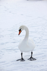 ©London News Pictures. 01/12/2010. A swan blends into the snow today at Attenborough nature reserve in Nottinghamshire today.  Photo credit should read Alison Baskerville/London News Pictures