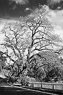 Old Oak, Los Altos Hills, CA