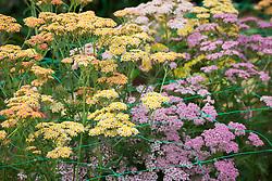 Achillea millefolium 'Summer Pastels'<br /> Yarrow