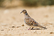 Turtle Dove (Streptopelia turtur) walking in the desert, negev, Israel