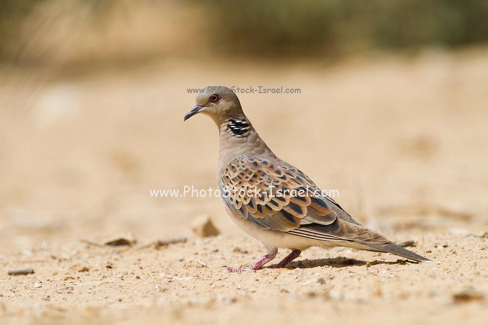 Turtle Dove (Streptopelia turtur) walking in the desert, negev, Israel
