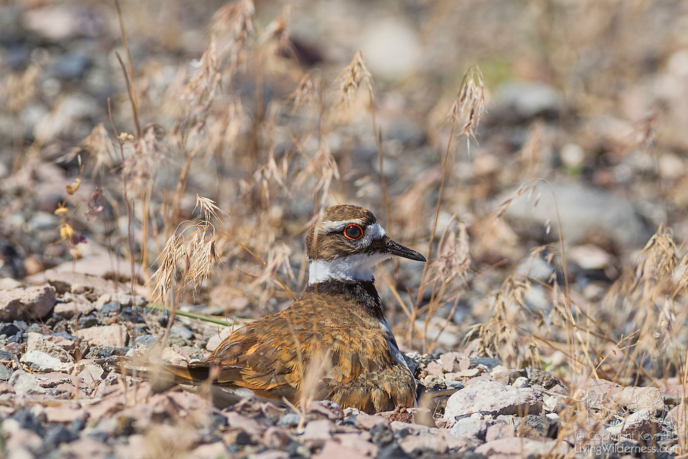 A killdeer (Charadrius vociferus) sits on her nest on the rocks in the Malheur National Wildlife Refuge in Oregon. Killdeer, like other plovers, nest on the ground, such as this nest, built on a gravel bar along Mud Lake. When threatened, the killdeer tries to distract predators away from the nest, often by pretending it has a broken wing.